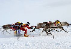.Reindeers and their jockeys race during the Reindeer Cup Championship Drives 2011 in Inari, Lapland, northern Finland