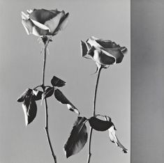 Robert Mapplethorpe, Roses, 1988