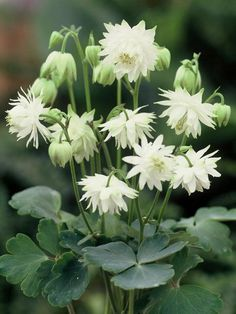Aquilegia vulgaris Lime Sorbet Columbine  Lime-green double pom-pom flowers that nod above the standard blue-green foliage. Spurless blooms eventually turn to a pure white. A striking new Columbine, Lime Sorbet has good-sized flowers that will illuminate a special corner in your garden.