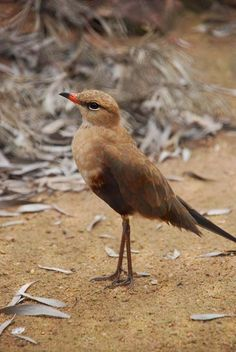 Australian Pratincole (Stiltia isabella) is a species of bird in the Glareolidae family, found in Australia, Christmas Island, Indonesia, Malaysia, and Papua New Guinea.