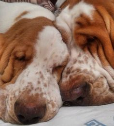 Basset Puppies, Bloodhound Dogs, Hound Puppies, Basset Hound Puppy, Cute Dogs And Puppies, Baby Dogs, Doggies, Loyal Dogs, Crazy Dog Lady
