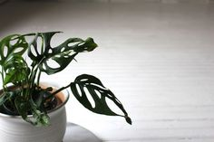 """Monstera obliqua """"Swiss Cheese Plant"""" 