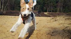 Happy Wire Fox Terrier