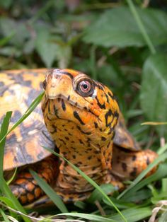 Eastern Box Turtles (Terrapene carolina) are one of the most familiar turtles in the eastern U.S. but are declining due to habitat loss, road mortality, and collection.