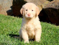 Golden Retriever puppy for sale in MOUNT JOY, PA. ADN-52805 on PuppyFinder.com Gender: Male. Age: 7 Weeks Old