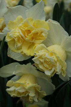 Narcissus 'Popeye'