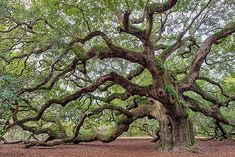 Angel Oak, Johns Island, S. Situated at a community crossroads in the heart of Johns Island, this publicly accessible park will pr. Fast Growing Shade Trees, Growing Tree, Angel Oak Trees, City Of Charleston, Oak Tree Tattoo, Tree Tattoos, Live Oak Trees, Johns Island, Giant Tree