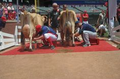 Jimenez and Kottaras square off for the title of World's Greatest Cow Milker Who Also Plays Professional Baseball  |  Yep. That happened.