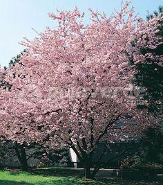 cerisier fleurs du japon prunus 39 accolade 39 arbres et. Black Bedroom Furniture Sets. Home Design Ideas