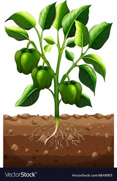 Green capsicum on the branch vector image on VectorStock Trees To Plant, Plant Leaves, Vegetable Crafts, Green Capsicum, Fruit Crafts, Branch Vector, Chicken Ham, Health And Fitness Magazine, Fresco