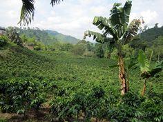 Coffee Plantation, Manizales, Colombia