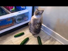 Funny Babies, Funny Dogs, Funny Animals, Cute Animals, Funny Cat Compilation, Funny Cat Videos, Cute Cat Gif, Cute Animal Videos, Try Not To Laugh