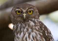 Barking Owl (Ninox connivens) Birds Of Prey, Owls, Humming Birds, Penguin, Cameras, Nest, Brain, Animals, Nest Box