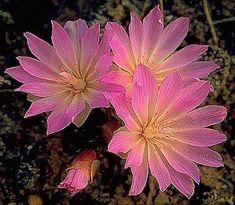 Montana State Flower - Bitterroot