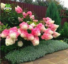 50 Vanilla Strawberry hydrangea Flower Seeds for planting... https://www.amazon.com/dp/B01N4670OR/ref=cm_sw_r_pi_dp_x_I7iozbAPCCSMP