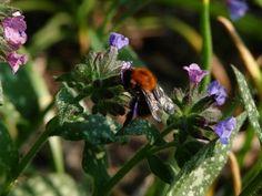 Inheemse planten voor rupsen, vlinders en bijen.