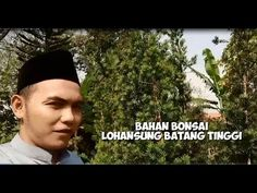 Bahan Bonsai Lohansung Batang Tinggi   Bisnis lohansung   lohansung   bo...