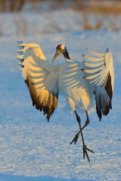 Beautiful sun and shadows on a dancing crane in Hokkaido, Japan, by Stefan Senft