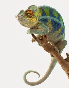 Google+....Endangered Species – Ambanja Panther Chameleon (Furcifer pardalis)