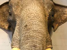 Unique stuffed head of an Indian elephant (Elephas maximus indicu - Shouldermounts Stuffed head. Hunting trophy animals. Taxidermy - De Jachtkamer