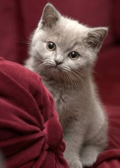 Baby kitten Muito lindoooo Amooo Gatinhos