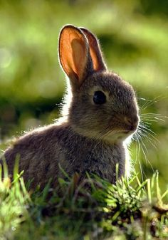 We saw a small rabbit on our walk in the woods this evening - Animals And Pets, Baby Animals, Cute Animals, Cute Baby Bunnies, Cute Babies, Young Rabbit, Walk In The Woods, All Gods Creatures, Fauna