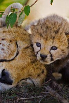 Cute Baby Animals, Animals And Pets, Funny Animals, I Love Cats, Big Cats, Beautiful Cats, Animals Beautiful, Baby Cheetahs, Here Kitty Kitty