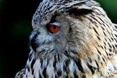 Falconeria Locarno - Gufo Siberiano by Welbis Pestana on Owl Photos, National Geographic Photos, Your Shot, My Animal, Amazing Photography, Wildlife, Shots, Birds, Action