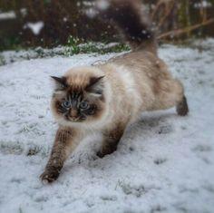 ragdoll in the snow