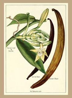 Vanilla bean & vanilla orchid illustration Vanilla flower, vanilla plant