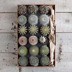 "Cacti: Set of 3. 4""dia x 5""h. $37.50 #Cacti"