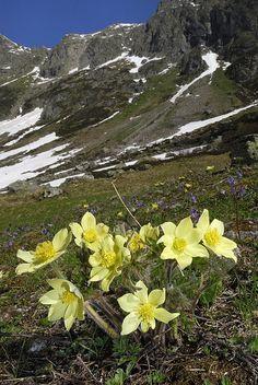 Alpine Pasque Flower Swiss Alps Print By Thomas Marent Alpine Flowers, Alpine Plants, Meadow Flowers, Wild Flowers, Wildwood Flower, Swiss Alps, Gras, Organic Gardening, Gardening Tips