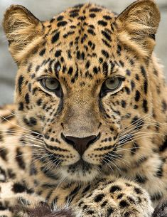 "beautiful-wildlife: "" Elegance & Beauty by bigcatphotos UK The rarest of all the big cats, the Amur Leopard lives in the far east of Russia close to the Chinese border. They are critically endangered. Amur Leopard, Leopard Animal, My Animal, Leopard Face, Leopard Cub, Bear Animal, Animal Babies, Snow Leopard, Beautiful Cats"