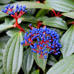 Evergreen shrub, blue fruit viburnum Viburnum davidii: Delivery by Crocus