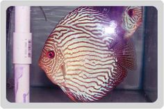 Beautiful specimen of Red Royal Blue Discus (symphysodon spp.)