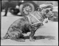 bulldog –
