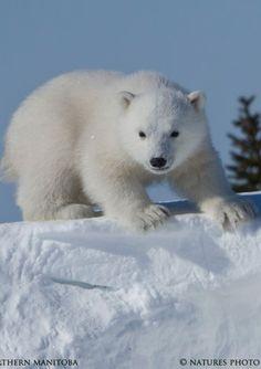 Polar Bear Cub by David Hemmings - Photo 97333361 - Bear Cubs, Panda Bear, Polar Bears Live, Baby Animals, Cute Animals, Brown Bear, Spirit Animal, Animal Kingdom, Animals Beautiful