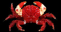 This superb, heavily ornamented yet vibrant coloured crab is a recently described new species of reef crab from Papua New Guinea,  and is probably also present in Australia.    Actaea grimaldii, named in honour of the Prince of Monaco, His Serene Highness Albert II, and the red and white colour pattern of the new species also alludes to the colours associated with the armorial of the Grimaldi family.  Colourful serves as a warning signal. Belonging to the family Xanthidae, they possess a…