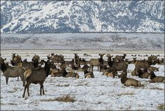 Trip idea:  Jackson National Fish Hatchery was originally established in 1950 as part of the Palisades Dam Act. Today, the hatchery's primary emphasis is producing eggs and fish to mitigate for fish losses from Federal water development projects and for States, Tribes, and research facilities.  Pic: Jackson elk herd wintering on the National Elk Refuge