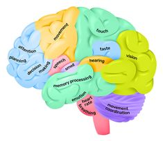 The cerebral cortex of the brain has four lobes, each with distinct functions Human Anatomy Chart, Human Brain Anatomy, Anatomy And Physiology, Human Brain Parts, Human Brain Diagram, Human Body, Human Human, Brain Anatomy And Function, Brain Parts And Functions