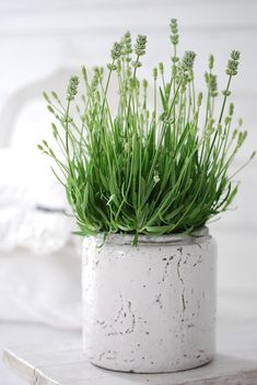 White Lavender in white pot.