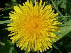 Kalendář sběru planých léčivek je nepostradatelný pomocník bylinkářů | | MAKOVÁ PANENKA Countryside, Herbs, Plants, Herb, Flora, Plant, Planting
