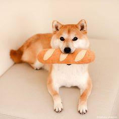 Animals And Pets, Baby Animals, Funny Animals, Shiba Inu, Japanese Dogs, Japanese Akita, Super Cute Animals, Akita Dog, Akita Puppies