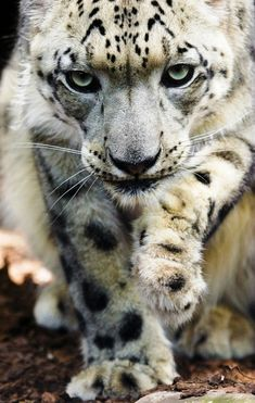 """Young Male Snow Leopard. Menagerie du Jardin des Plantes, Paris. This is such a cool pic. Snow leapords are one of my favorite """"Big Cats"""". Just love them!"""