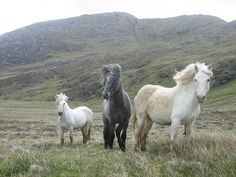 Eriskay Ponies only but strong enough to carry an adult with ease - as well as being super cute! Pony Breeds, Horse Breeds, Scottish Animals, Cleveland Bay, Hackney Horse, Highland Pony, Inverness Shire, Welsh Pony, Outer Hebrides