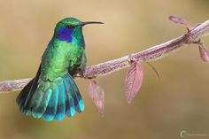 Green Violet-Ear Hummingbird, by Yehudi Hernandez