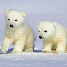 Polar Twins