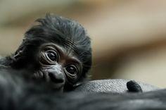 Baby Gorilla Born At Prague Zoo