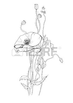Poppy Flower Drawing On White Background Royalty Free Cliparts, Vectors, And Stock Illustration. Image 14180917.