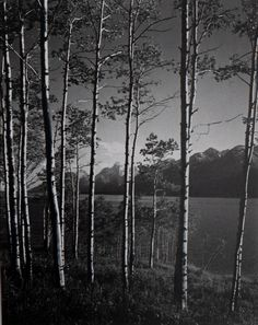 Ansel Adams, Aspen Grove, Jackson Lake, Wyoming, 1948